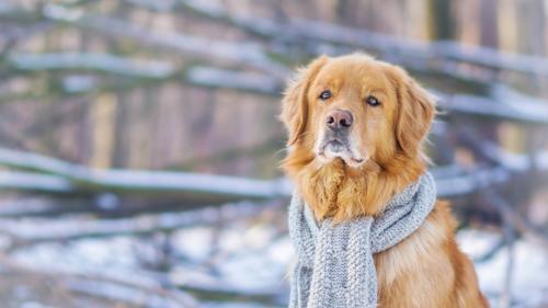 собака с шарфом на шее